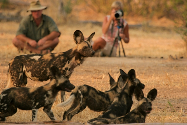 A wild dog sighting with Bushlife Safaris. Copyright: www.bushlifesafaris.com