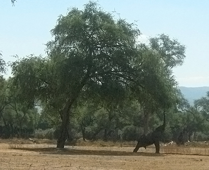 Mana Pools elephant