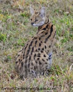 Bally Vaughan Twala Trust serval
