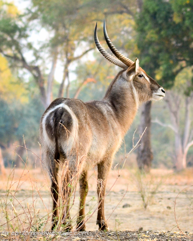 Mana Pools male waterbuck