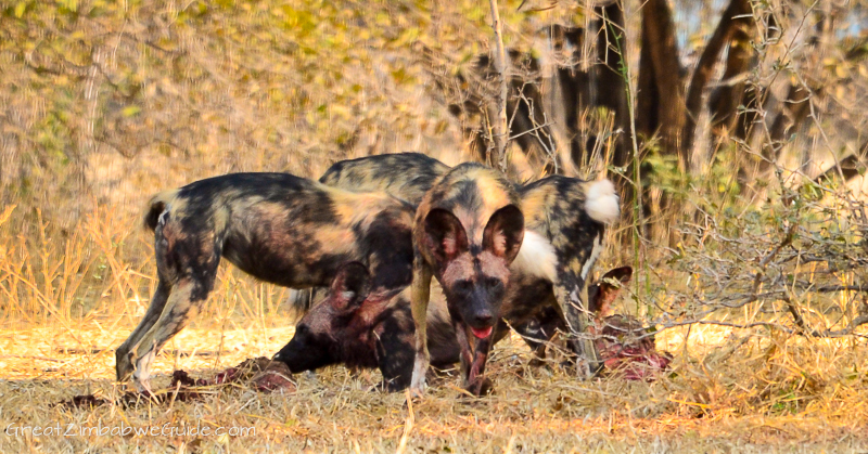 Mana Pools hunting dogs (28)