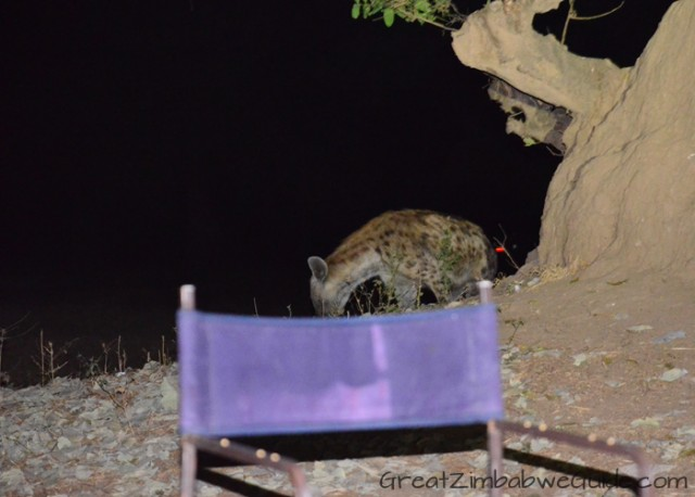 Mana Pools hyena at camp