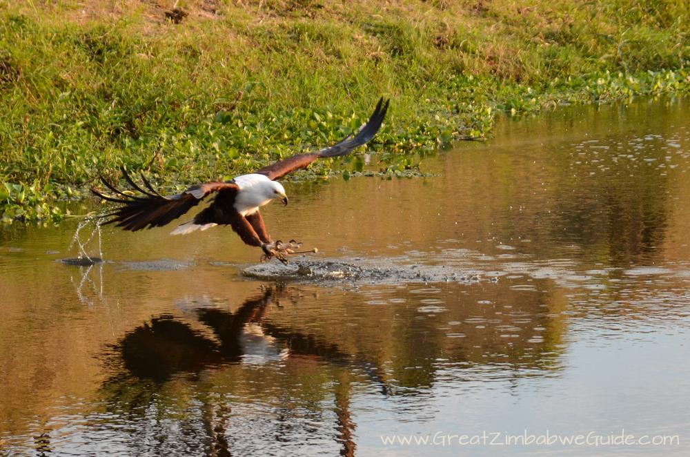 Fish Eagle Great Zimbabwe Guide