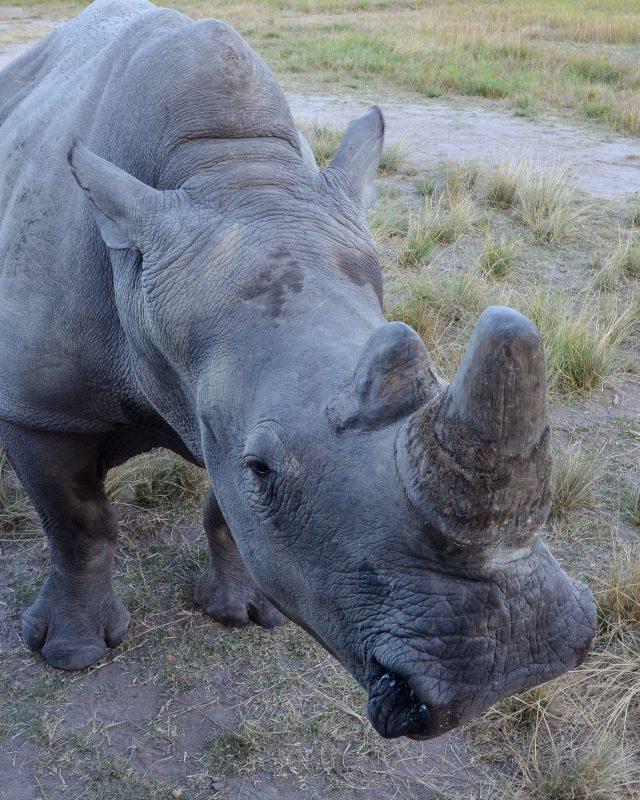 Rhino Zimbabwe