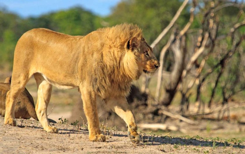 ZIMBABWE-TOUR-LION-HWANGE-NATIONAL-PARK