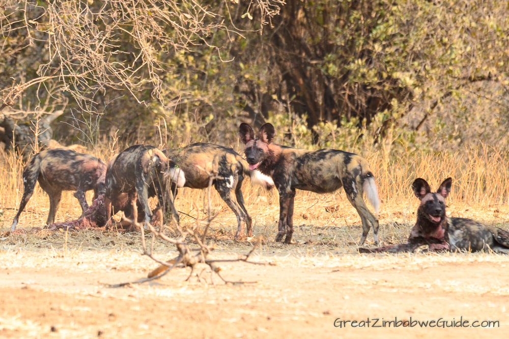 Painted wolves dogs Zimbabwe (2)