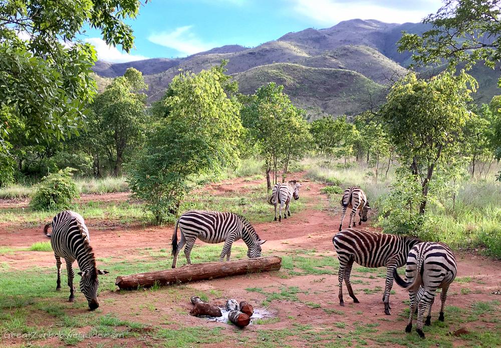Zimbabwe Mavhuradona Zebra Inspiration-1-15